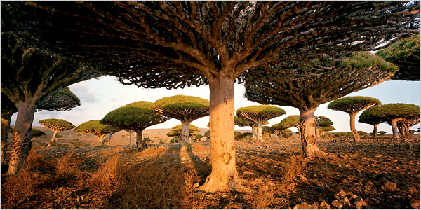 Harf Zimmermann for NYT:  Rare dragon's blood trees, found only on the island, which can grow for 300 years.