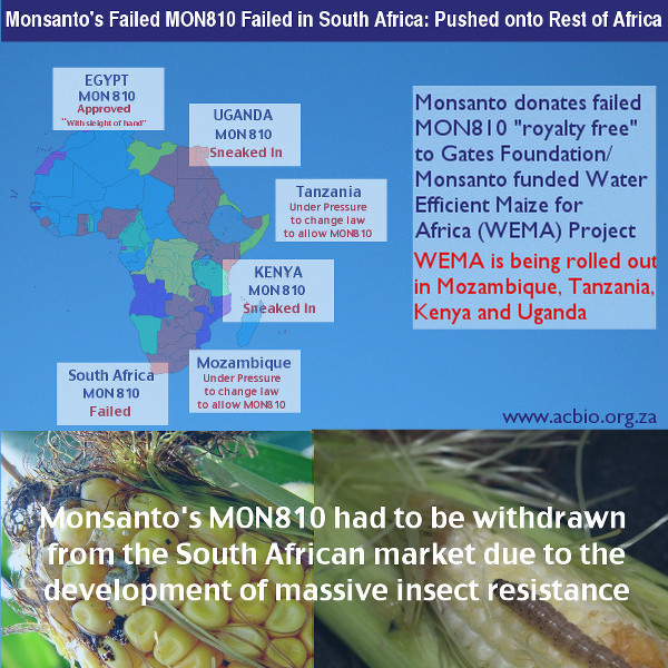 Monsanto's failed M810 maize in South Africa. acbio.org.za
