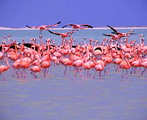 Flamingo flock 1 m